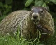 Groundhog Day: A Slightly Sarcastic Origin Story -- but It's True