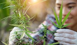 Massachusetts Online Courses Cannabis Cultivation and Processing for University of Massachusetts-Amherst Students in Amherst, MA